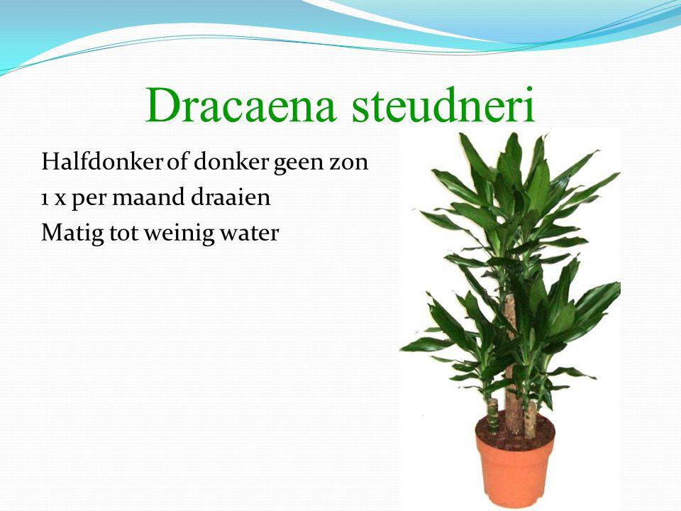 Dracaena steudneri Halfdonker of donker geen zon 1 x per maand draaien Matig tot weinig water