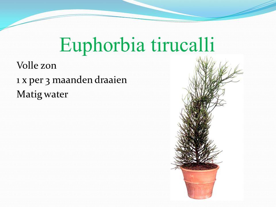 Euphorbia tirucalli Volle zon 1 x per 3 maanden draaien Matig water