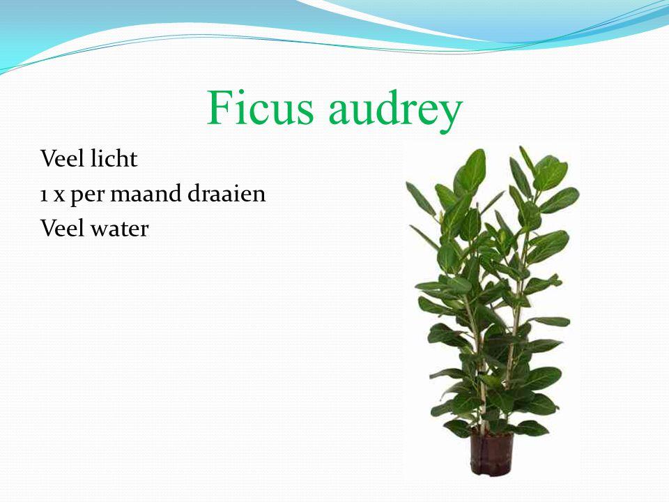 Ficus audrey Veel licht 1 x per maand draaien Veel water