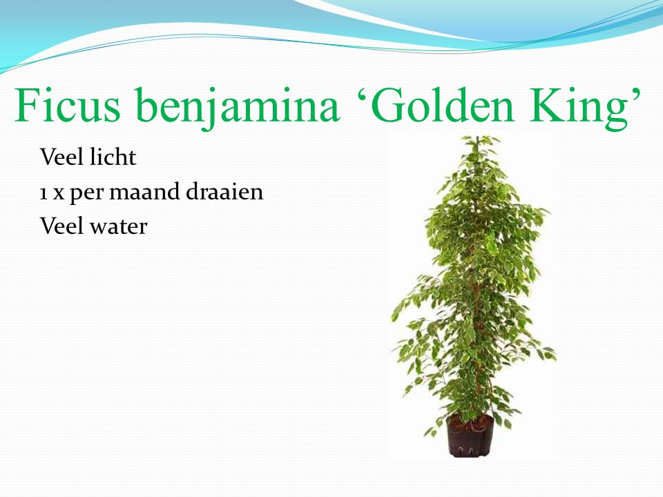 Ficus benjamina 'Golden King'