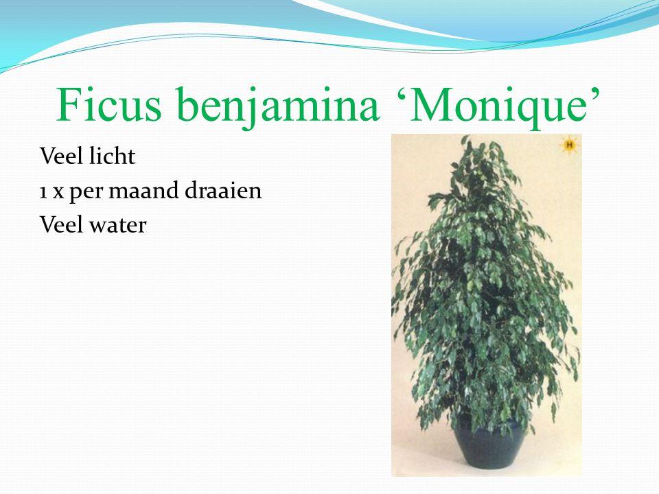Ficus benjamina 'Monique'