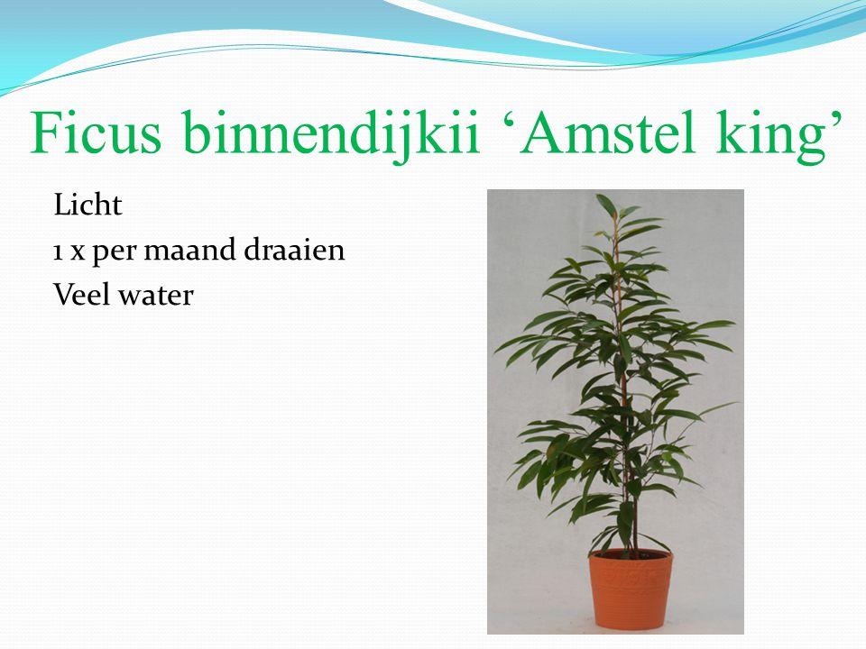 Ficus binnendijkii 'Amstel king'
