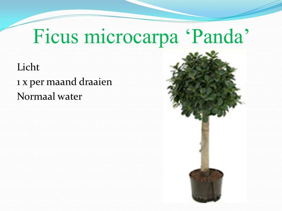 Ficus microcarpa 'Panda'