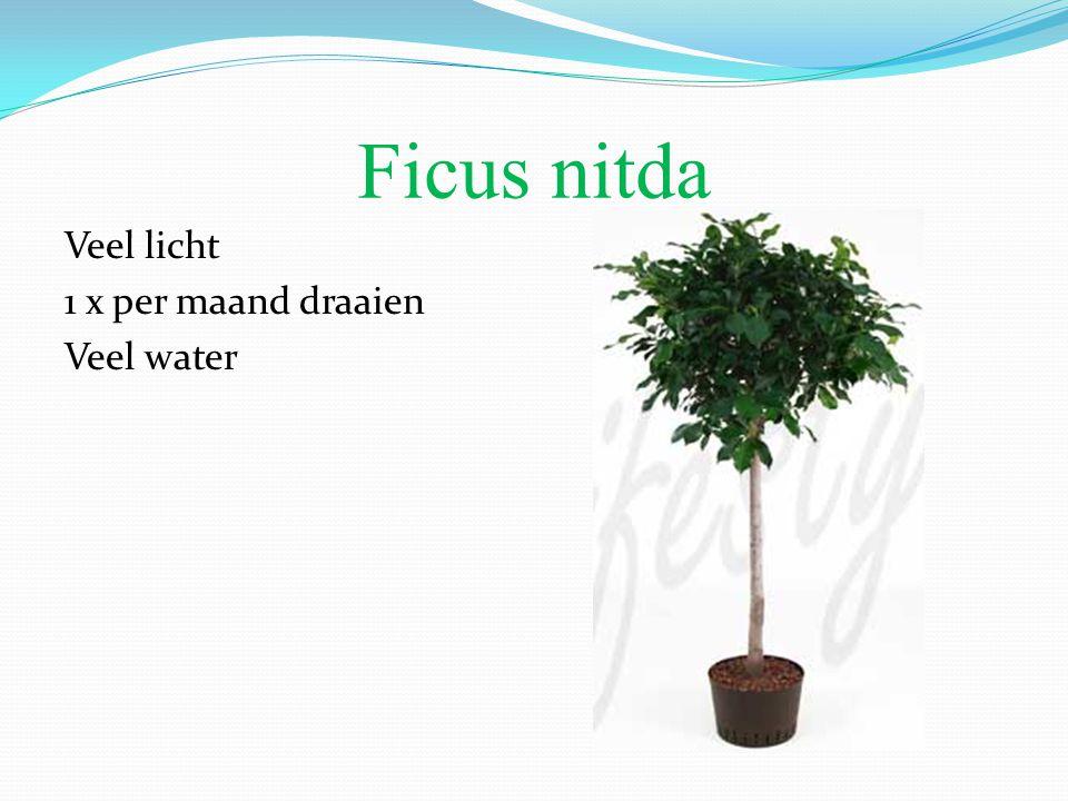 Ficus nitda Veel licht 1 x per maand draaien Veel water