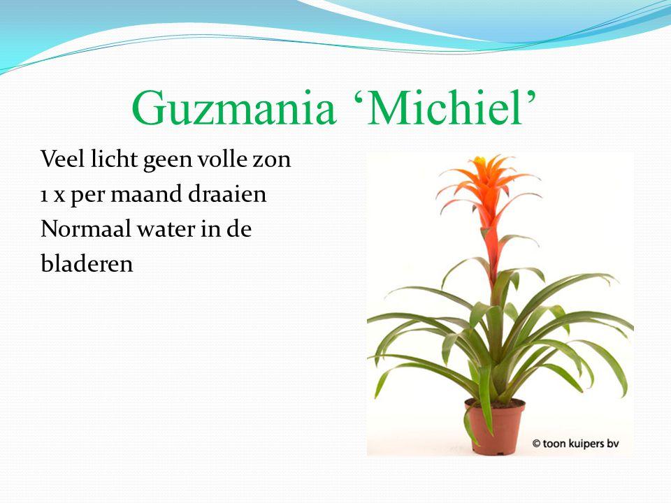 Guzmania 'Michiel' Veel licht geen volle zon 1 x per maand draaien Normaal water in de bladeren