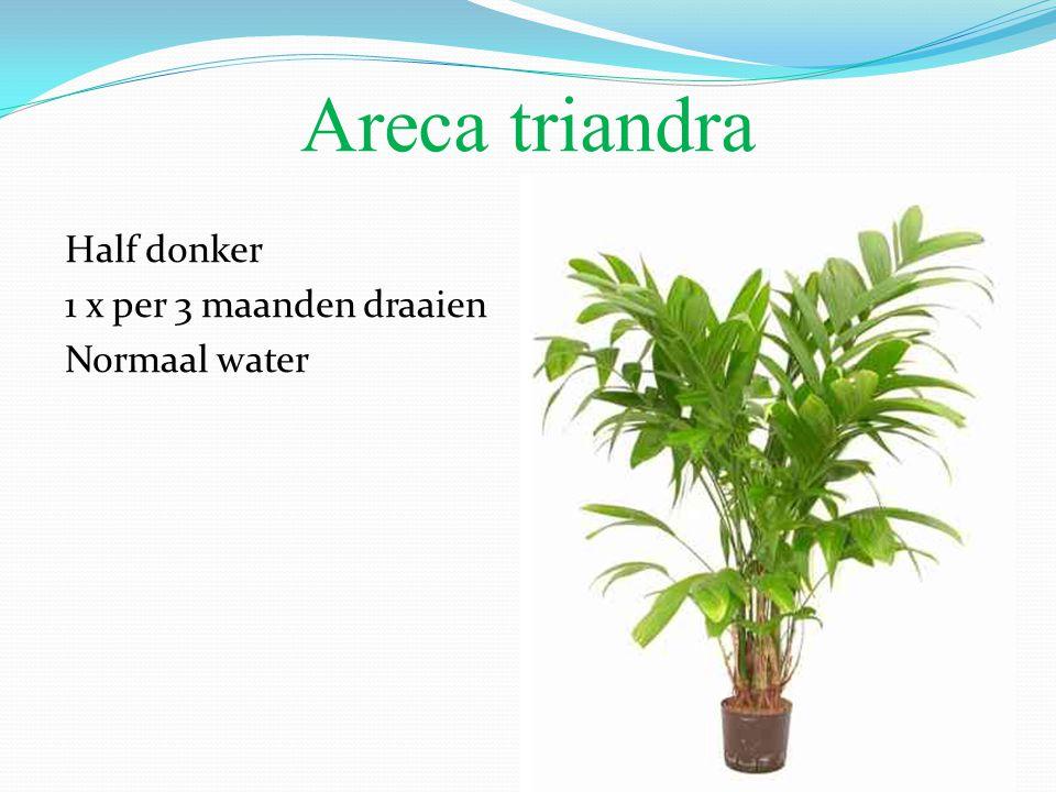 Areca triandra Half donker 1 x per 3 maanden draaien Normaal water