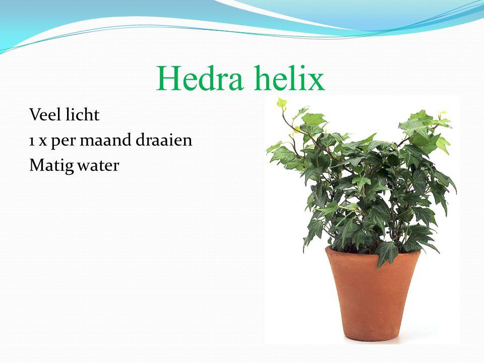 Hedra helix Veel licht 1 x per maand draaien Matig water