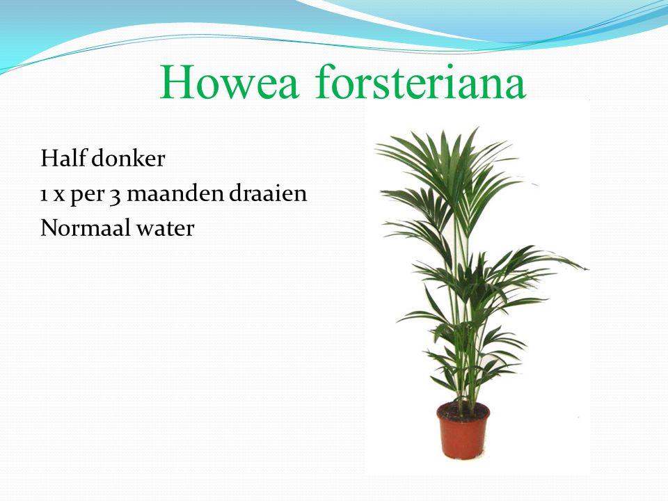 Howea forsteriana Half donker 1 x per 3 maanden draaien Normaal water