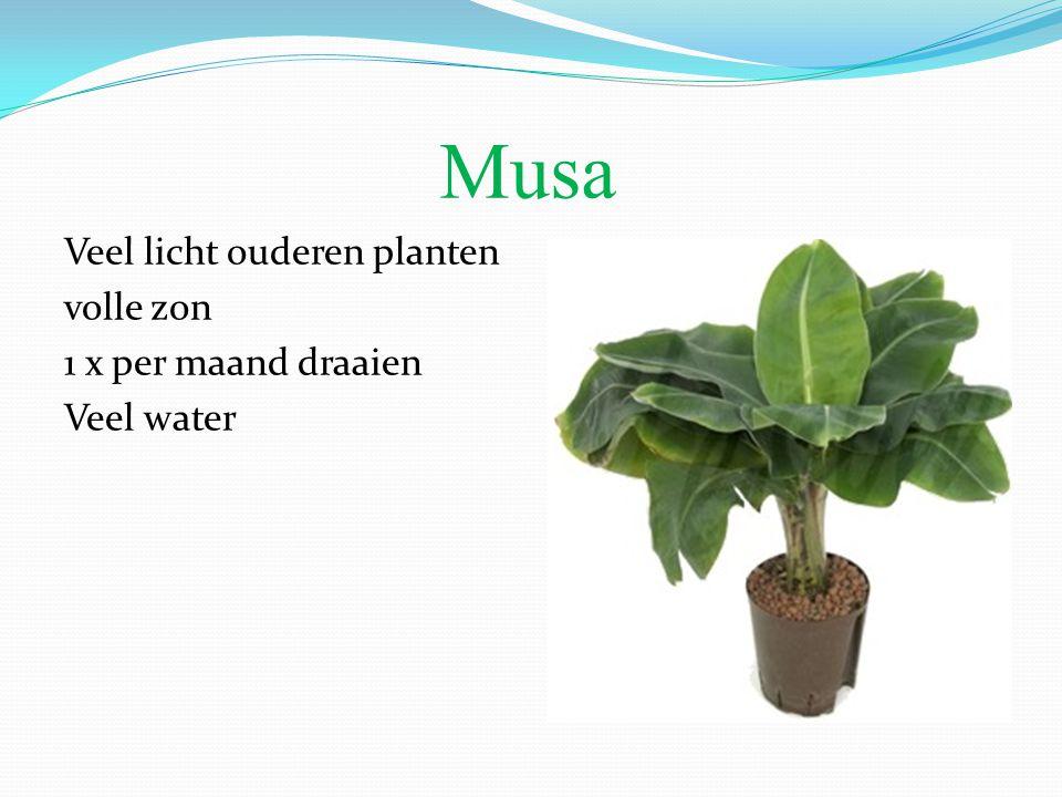 Musa Veel licht ouderen planten volle zon 1 x per maand draaien Veel water