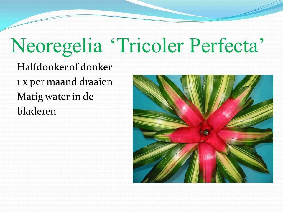 Neoregelia 'Tricoler Perfecta'