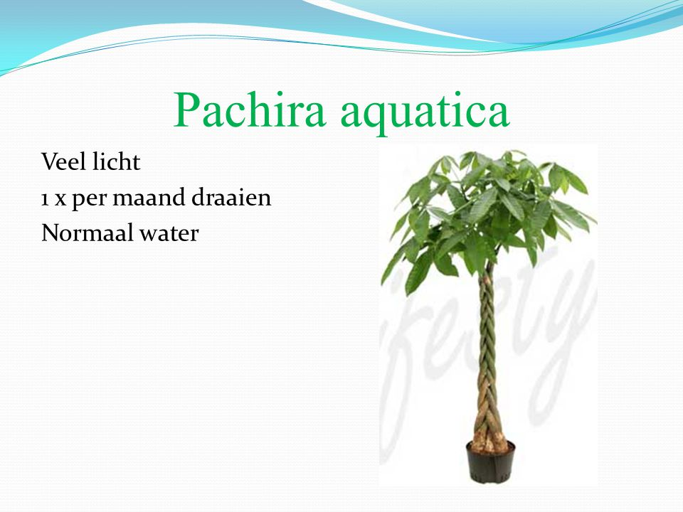 Pachira aquatica Veel licht 1 x per maand draaien Normaal water