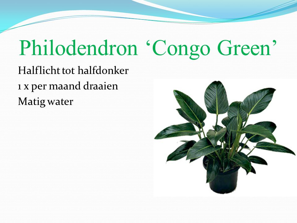 Philodendron 'Congo Green'