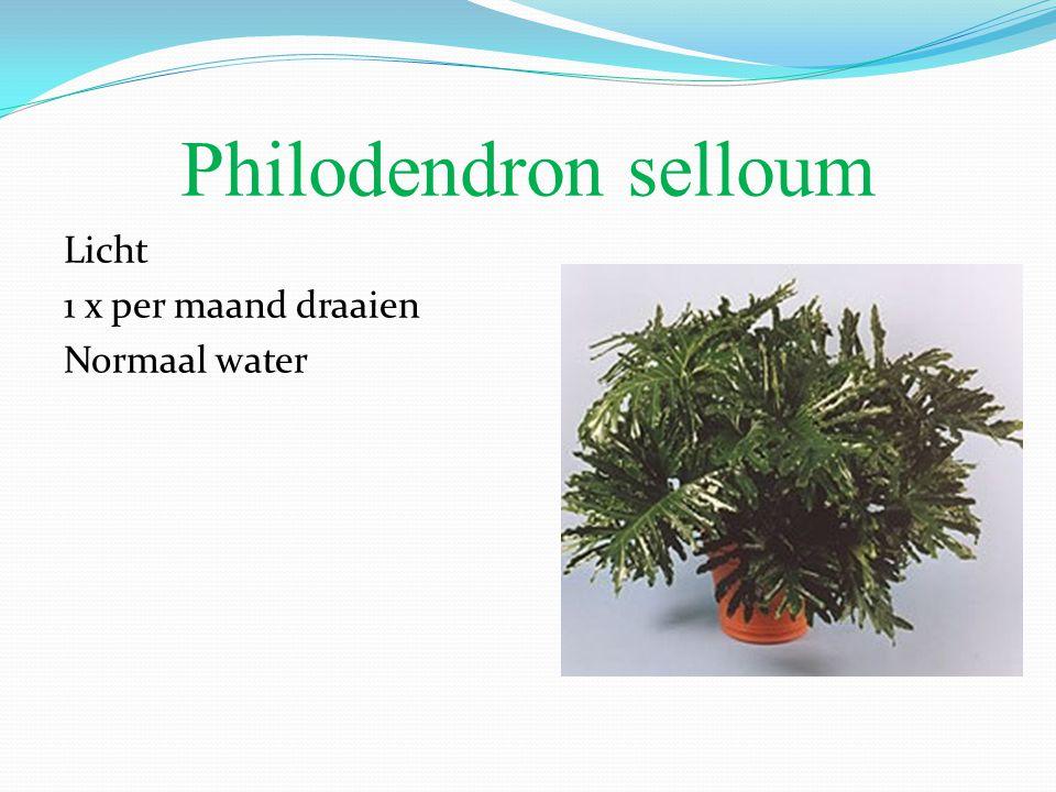 Philodendron selloum Licht 1 x per maand draaien Normaal water