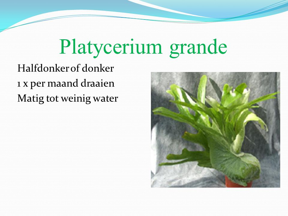Platycerium grande Halfdonker of donker 1 x per maand draaien Matig tot weinig water