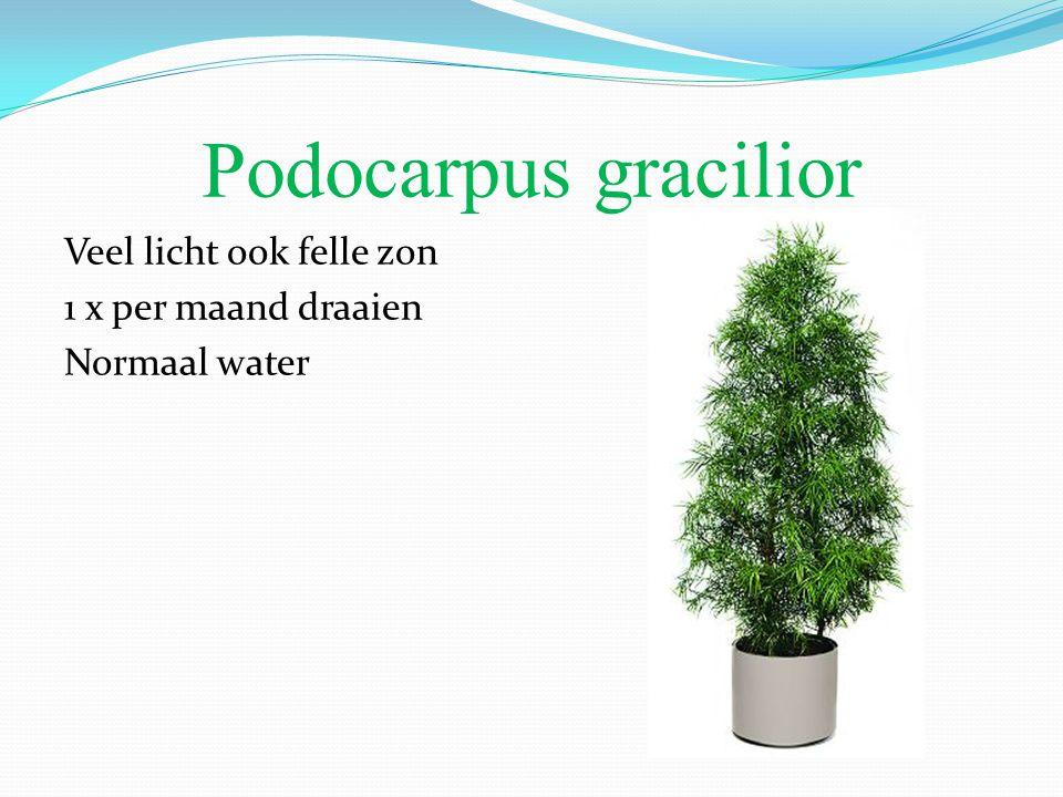 Podocarpus gracilior Veel licht ook felle zon 1 x per maand draaien Normaal water