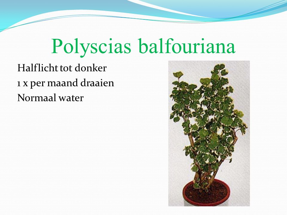 Polyscias balfouriana