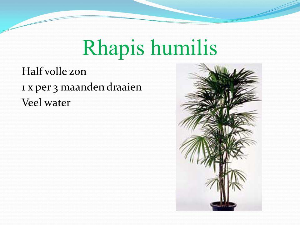 Rhapis humilis Half volle zon 1 x per 3 maanden draaien Veel water