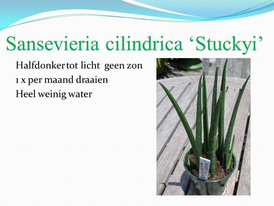 Sansevieria cilindrica 'Stuckyi'