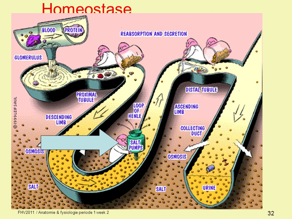 Homeostase FHV2011 / Anatomie & fysiologie periode 1 week 2