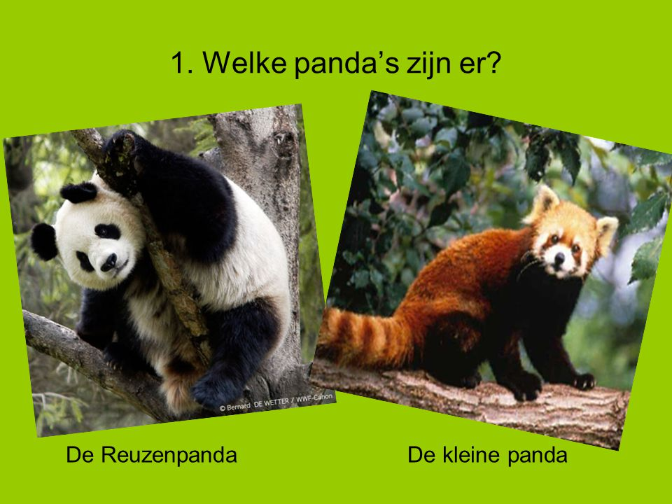 1. Welke panda's zijn er De Reuzenpanda De kleine panda