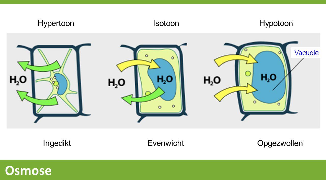 Hypertoon Isotoon Hypotoon Vacuole Ingedikt Evenwicht Opgezwollen