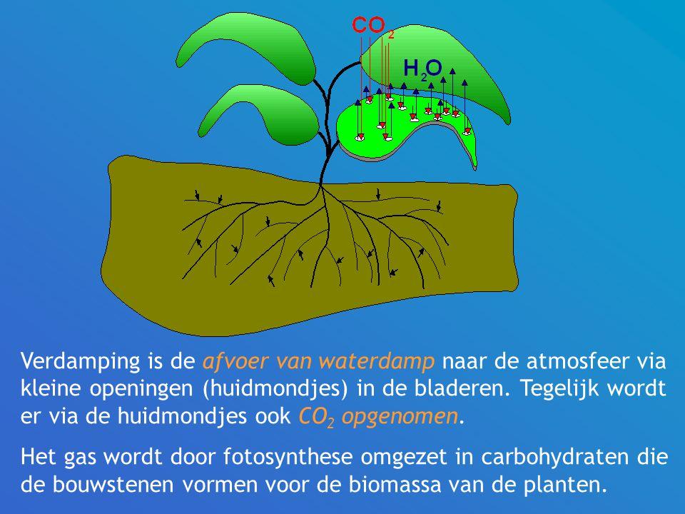 Verdamping is de afvoer van waterdamp naar de atmosfeer via kleine openingen (huidmondjes) in de bladeren. Tegelijk wordt er via de huidmondjes ook CO2 opgenomen.