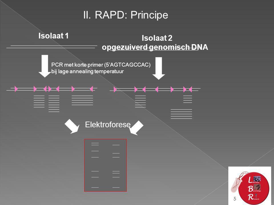 II. RAPD: Principe Isolaat 1 Isolaat 2 opgezuiverd genomisch DNA