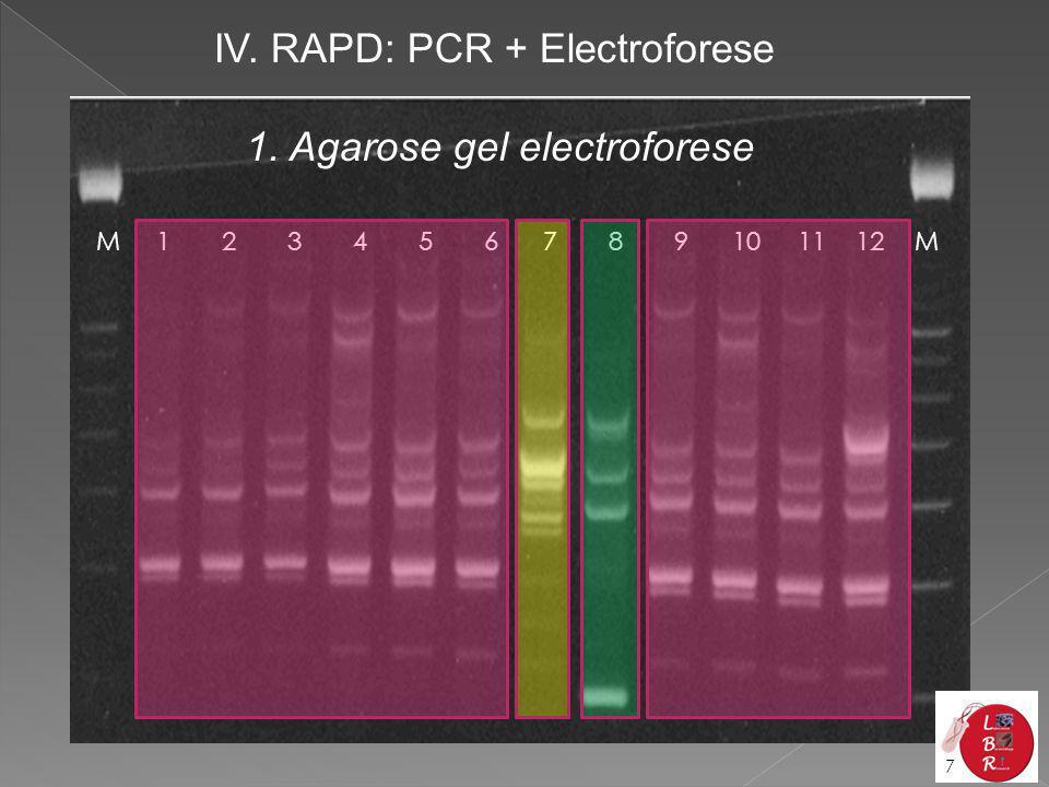 1. Agarose gel electroforese