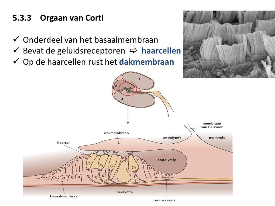 5.3.3 Orgaan van Corti Onderdeel van het basaalmembraan. Bevat de geluidsreceptoren  haarcellen.