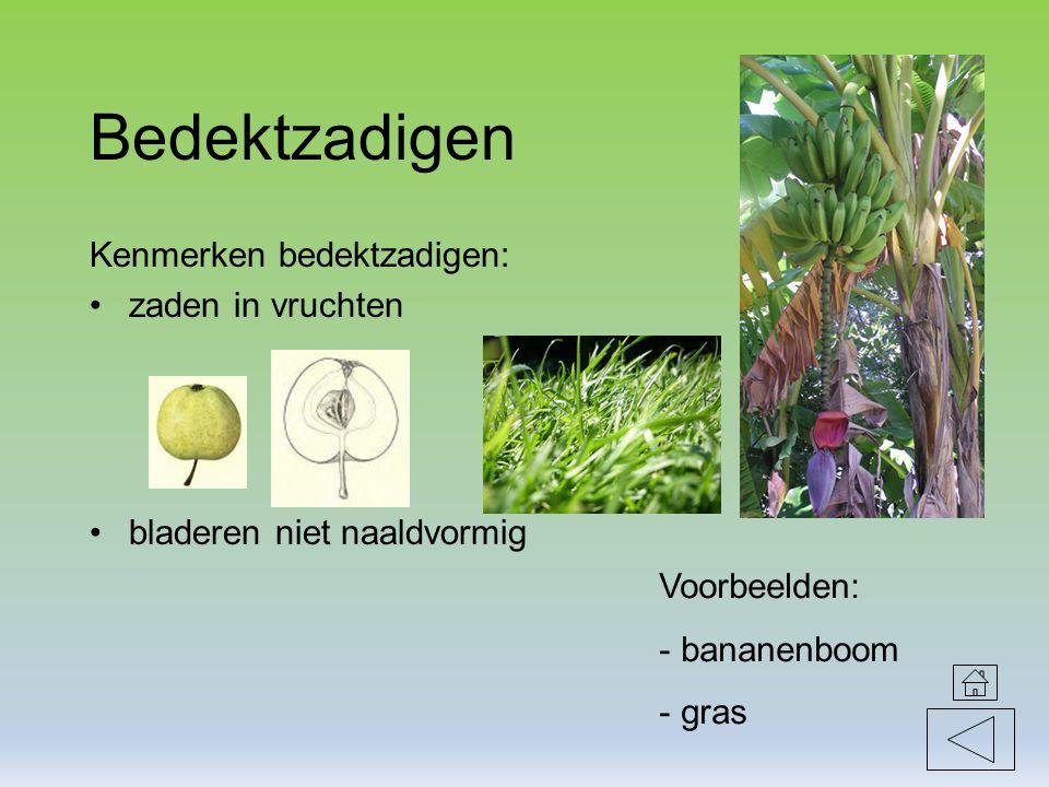 Bedektzadigen Kenmerken bedektzadigen: zaden in vruchten