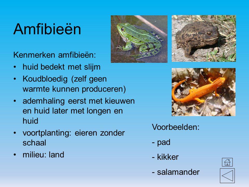 Amfibieën Kenmerken amfibieën: huid bedekt met slijm