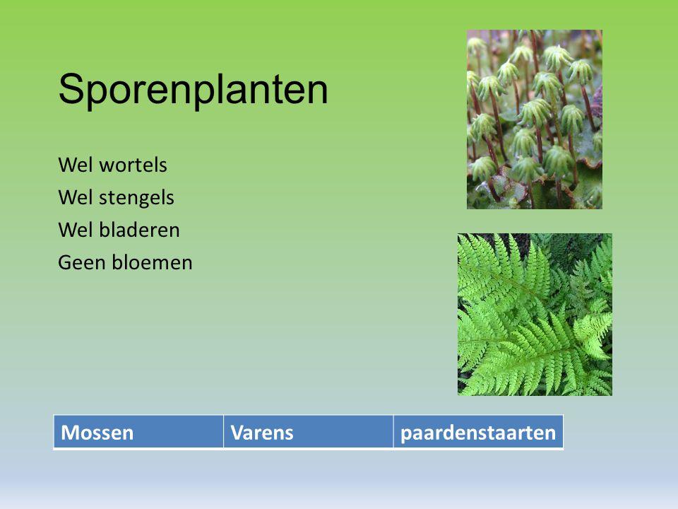 Sporenplanten Wel wortels Wel stengels Wel bladeren Geen bloemen