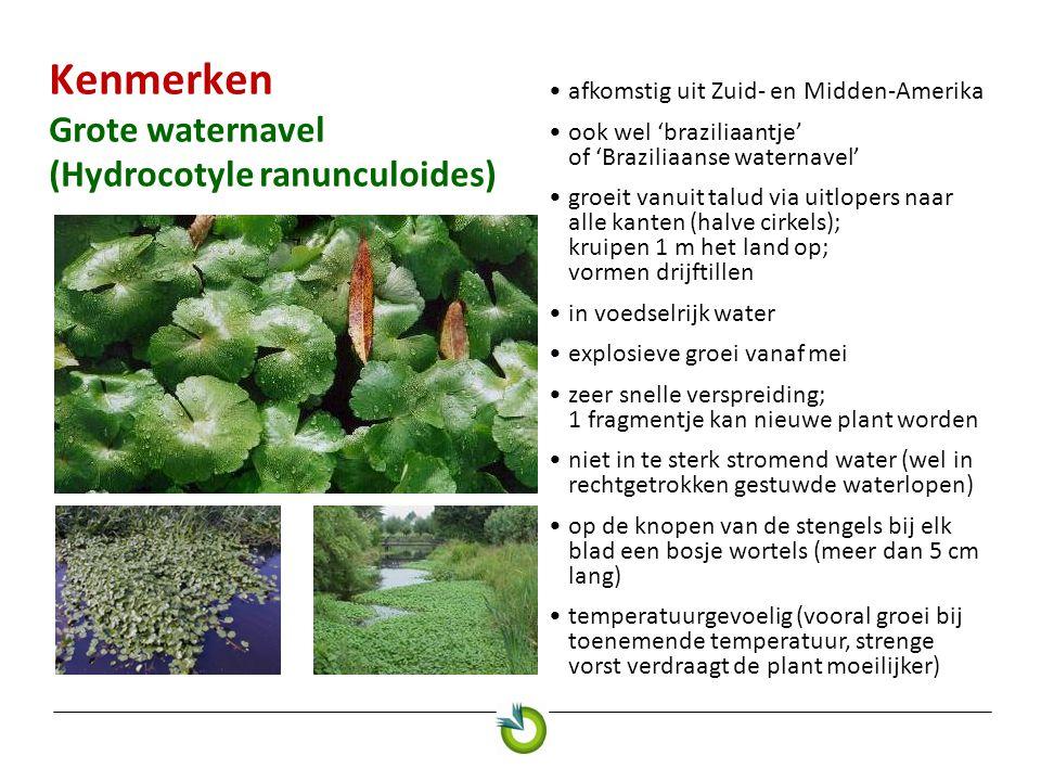 Kenmerken Grote waternavel (Hydrocotyle ranunculoides)