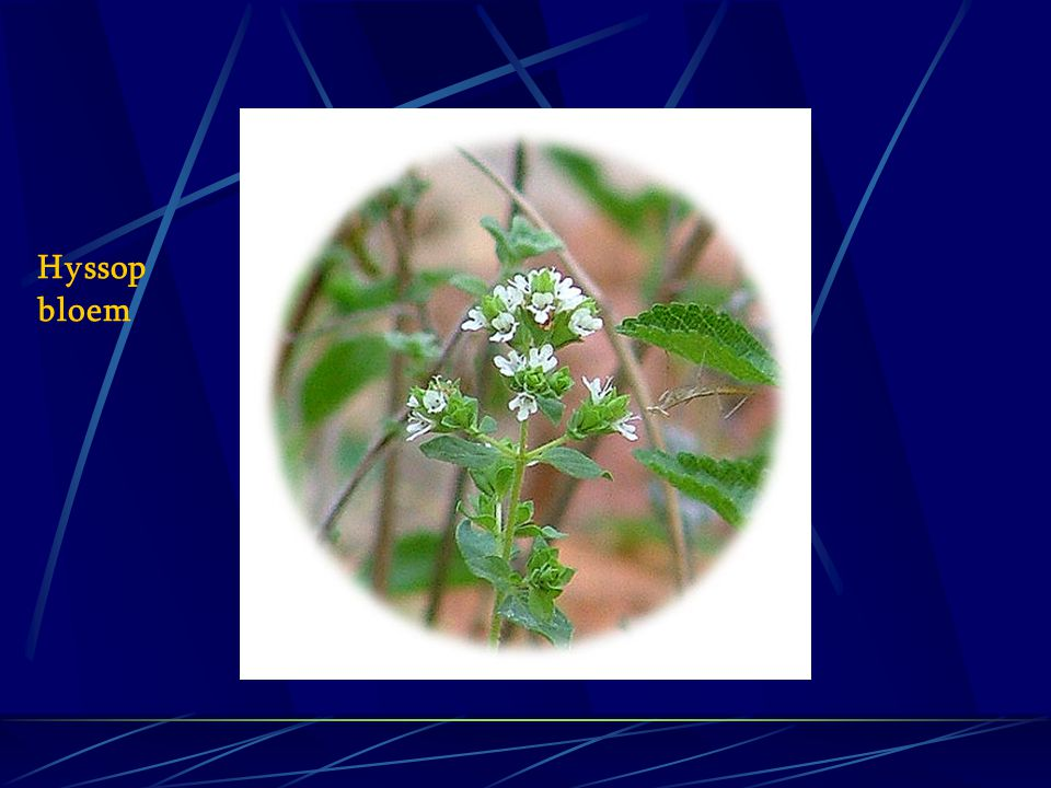 Hyssop bloem