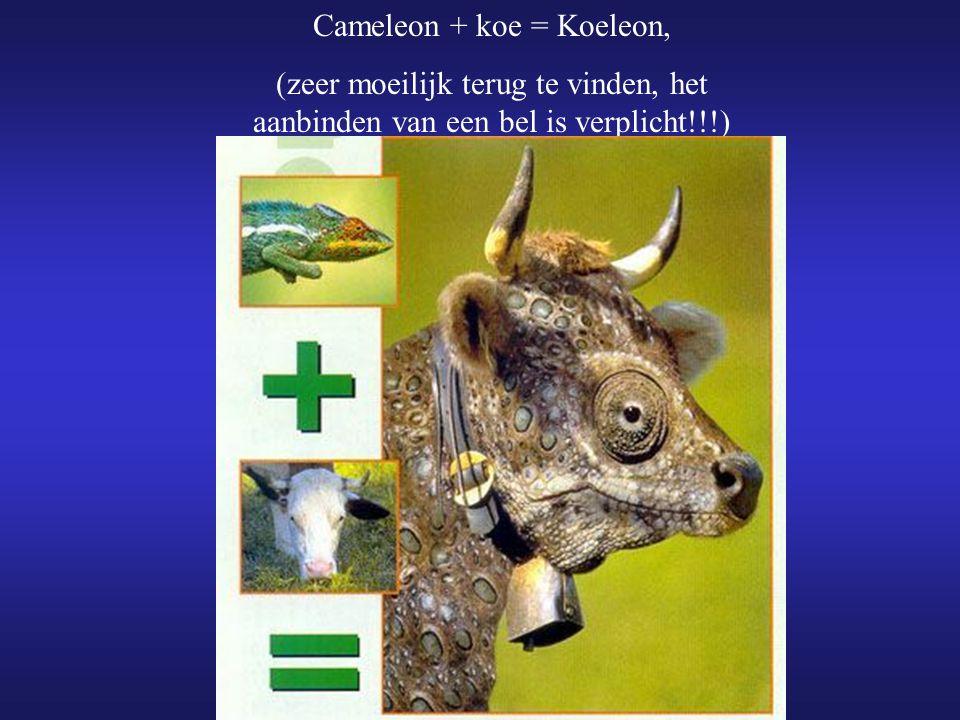 Cameleon + koe = Koeleon,