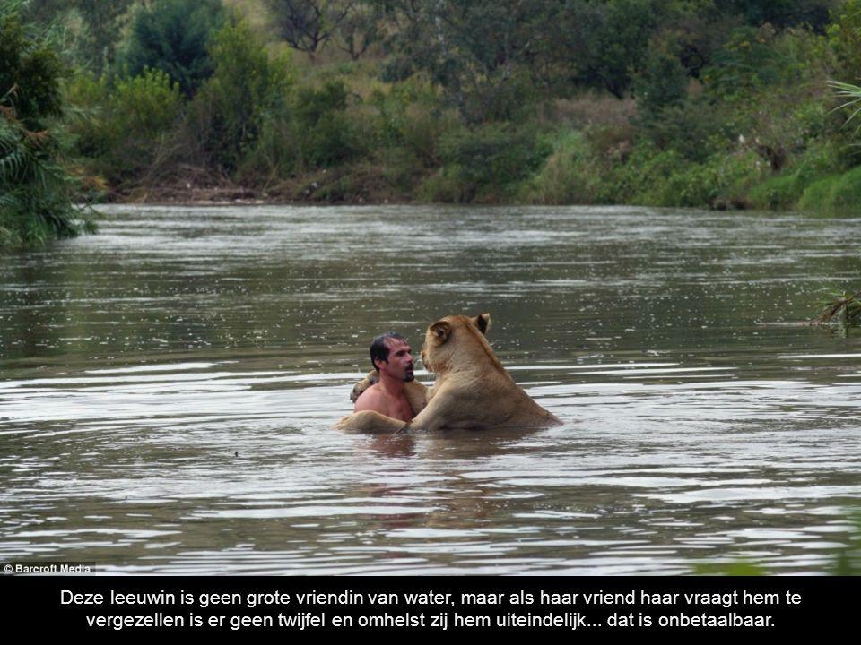 Deze leeuwin is geen grote vriendin van water, maar als haar vriend haar vraagt hem te