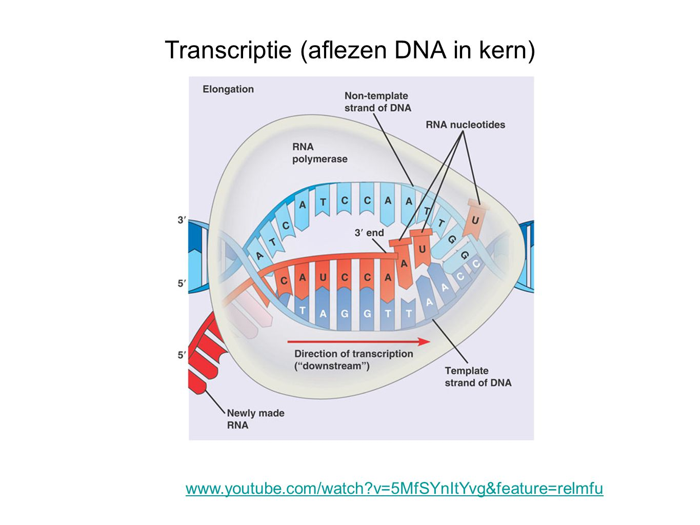 Transcriptie (aflezen DNA in kern)