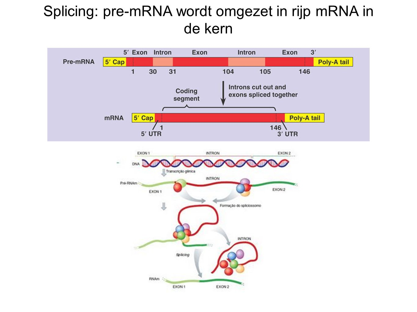 Splicing: pre-mRNA wordt omgezet in rijp mRNA in de kern