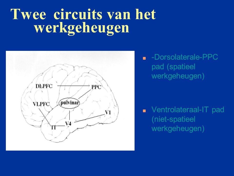 Twee circuits van het werkgeheugen