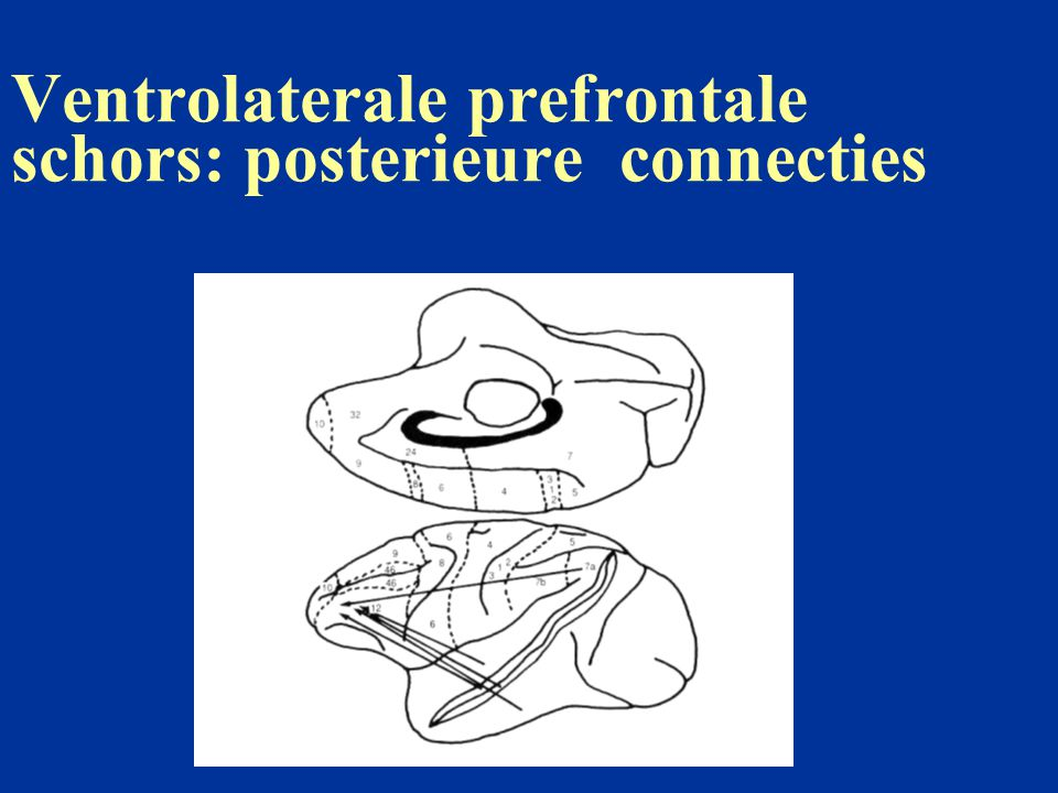 Ventrolaterale prefrontale schors: posterieure connecties