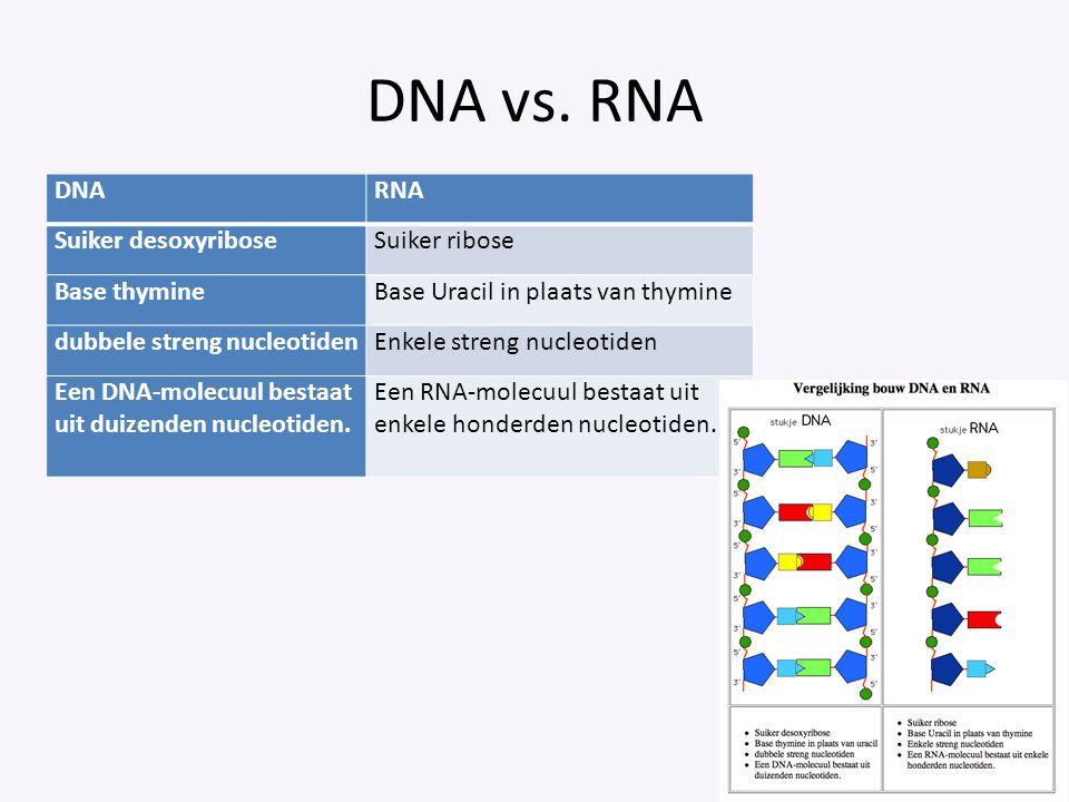 DNA vs. RNA DNA RNA Suiker desoxyribose Suiker ribose Base thymine