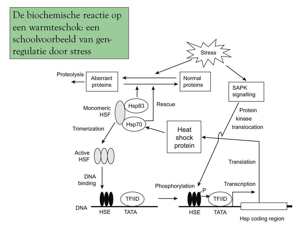 De biochemische reactie op een warmteschok: een schoolvoorbeeld van gen-regulatie door stress