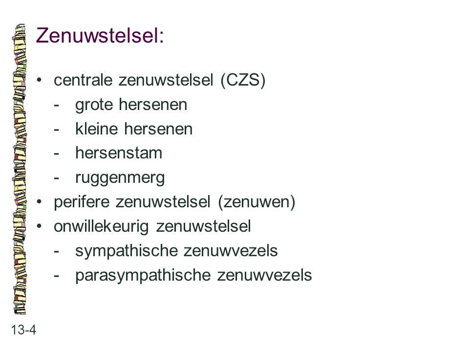 Zenuwstelsel: • centrale zenuwstelsel (CZS) - grote hersenen