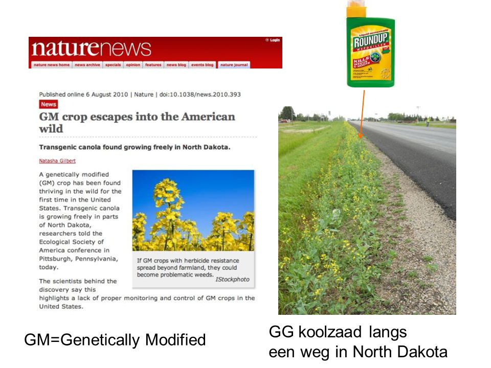 GG koolzaad langs een weg in North Dakota GM=Genetically Modified