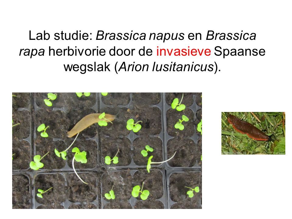 Lab studie: Brassica napus en Brassica rapa herbivorie door de invasieve Spaanse wegslak (Arion lusitanicus).