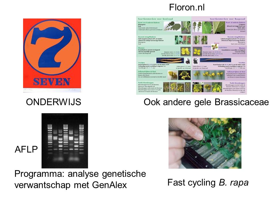 Floron.nl ONDERWIJS. Ook andere gele Brassicaceae. AFLP. Programma: analyse genetische. verwantschap met GenAlex.