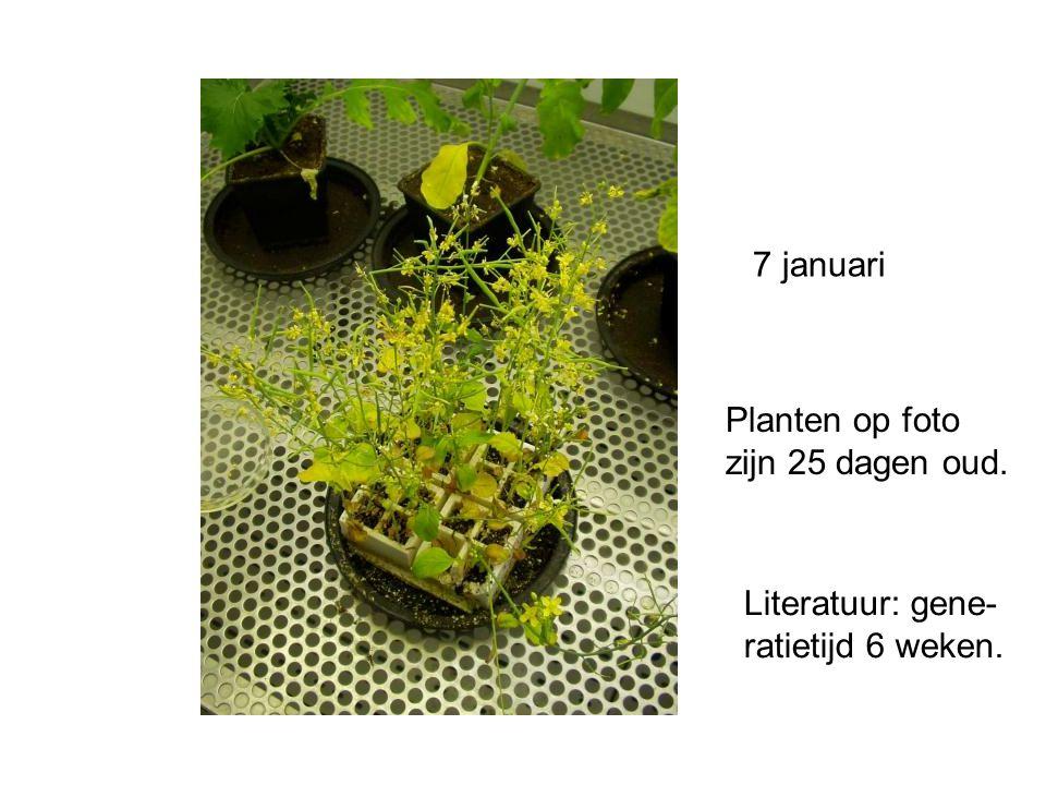 7 januari Planten op foto zijn 25 dagen oud. Literatuur: gene- ratietijd 6 weken.