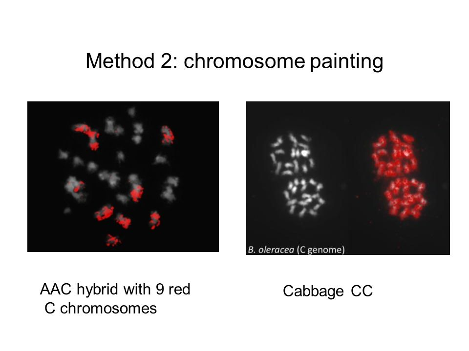Method 2: chromosome painting