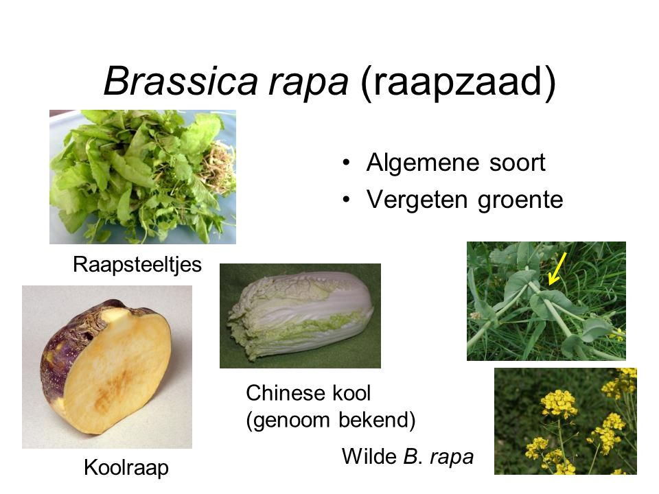 Brassica rapa (raapzaad)