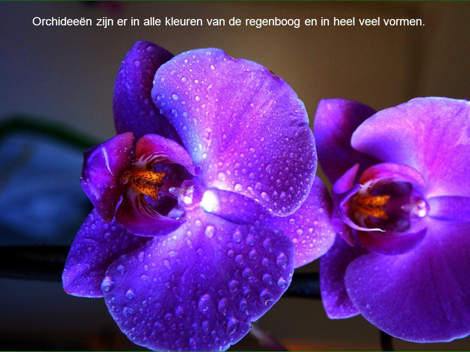 Orchideeën zijn er in alle kleuren van de regenboog en in heel veel vormen.